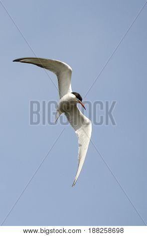 A common Tern flying the picture was taken when the Tern was changing direction
