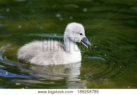 A cygnet eating in a river. The cygnet is not more than 7 days old in this picture