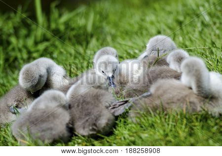 Cygnets sleeping by the side of the river. Not more than 6 days old