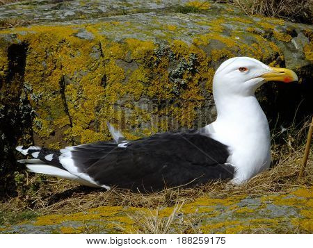 Great Black backed Gull sitting on its nest amongst rocks