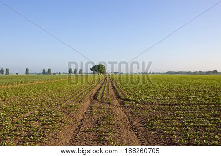 Yorkshire Sugar Beet Field