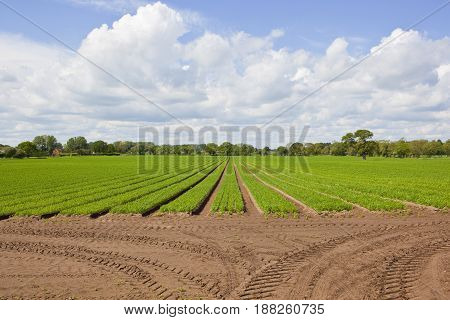 Yorkshire Carrot Field