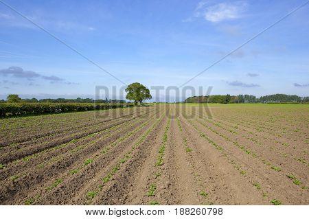 Yorkshire Potato Rows
