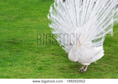 Male White Peacocks Are Spread Tail-feathers Ii