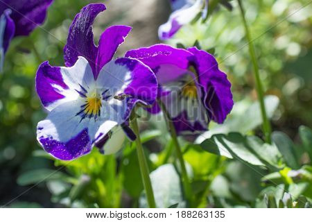 Beautiful Violet Pansy in Summer in Garden