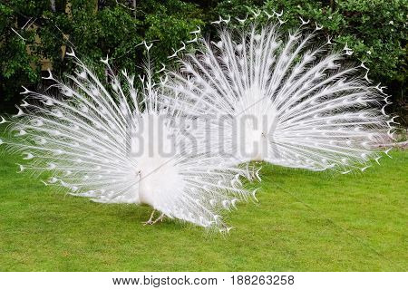 Male White Peacocks Are Spread Tail-feathers Viii