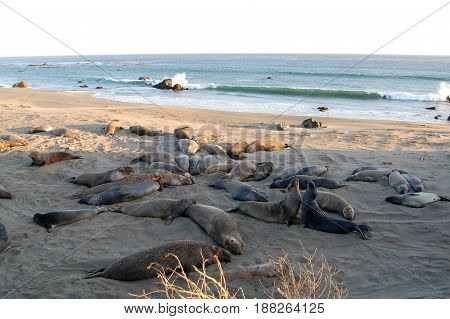 Seals lounging on the beach California USA