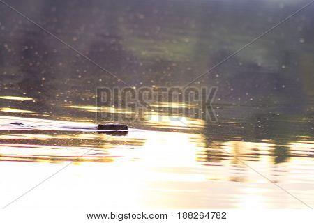 European beaver (Castor fiber) swimming in calm water.