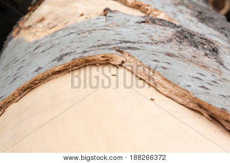 Cutting tree gray white wood texture bark