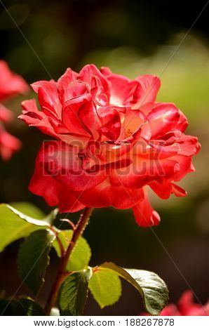 A rose is a woody perennial flowering plant of the genus Rosa, in the family Rosaceae