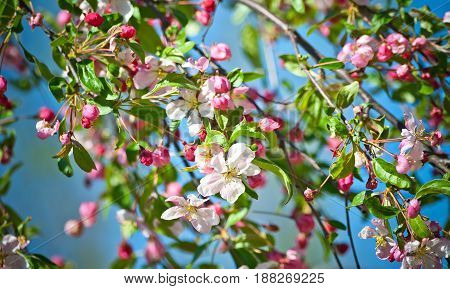 many cherry branch with a blossoming flower and small bright pink buds, lit by sunlight and against the blue sky, young green 	foliage, spring