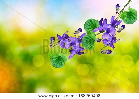 The first delicate spring flower violet.  nature