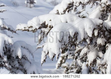 Snow on the branches of spruce . A photo