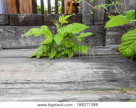 Small Young Green Shoot Raspberry Bush Broke Through The Crack Between The Boards