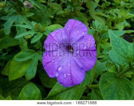 Striped  Terry Violet Large Petunia In The Garden