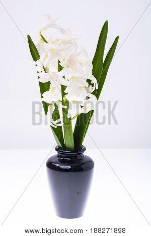 White fragrant hyacinth in vase. Studio Photo