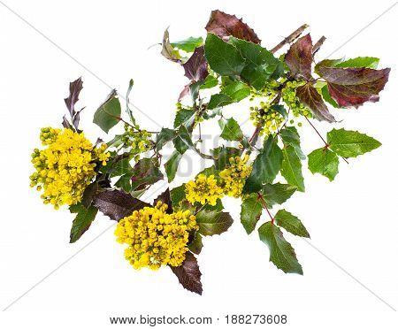 Branch of blooming mahonia yellow bush isolated. Studio Photo