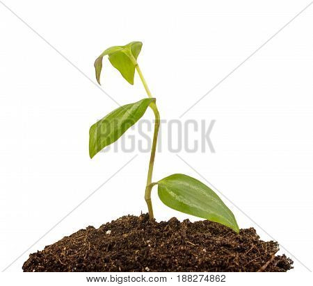 Young Plant With Humus Isolated