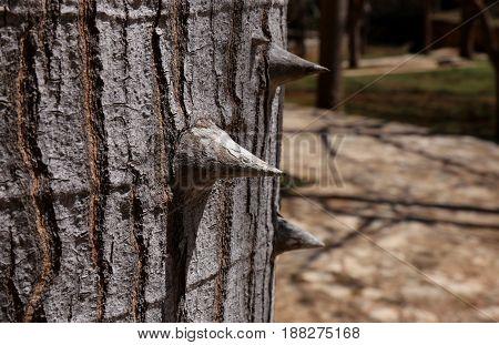 Closeup of the thorns of a silk floss tree - Ceiba speciosa, formerly Chorisia speciosa. Bombax ceiba tree. Kapok