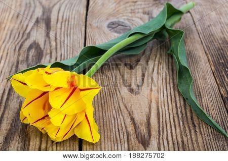 Single yellow tulip on wooden background. Studio Photo