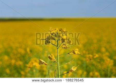 colza plant flower, against the background of a blooming rape field