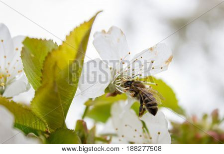 Cherry Tree Branch Bud Blossom Background As Beautiful Spring Flower Blooming Season Concept.