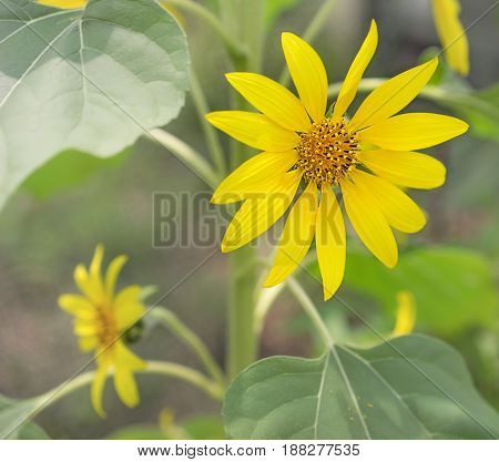 Bright yellow sunflowers with green foliage close up