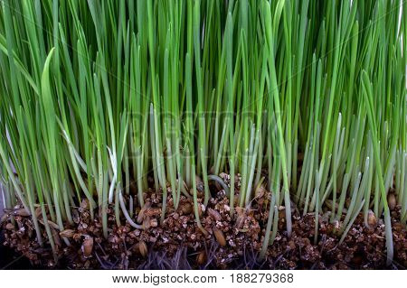Germinated Seeds Of Oat, Green Grass.