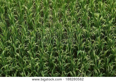 Rice field from top View, South East Asian