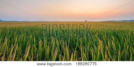 The endless rice field in the late afternoon light