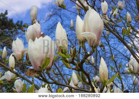 Blooming Colorful Magnolia Flowers In Sunny Garden Or Park, Springtime