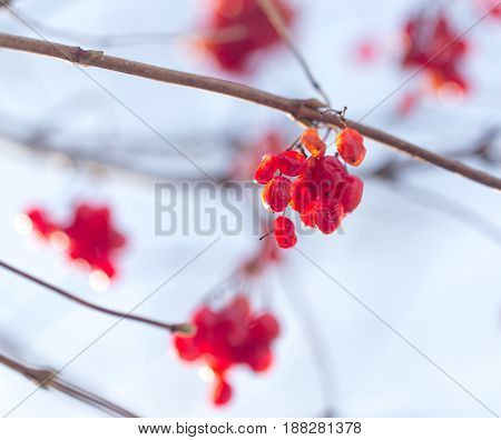 Winter mountain ash on a background of the sky in clear day .