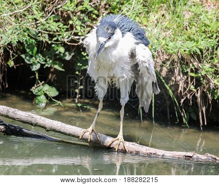 A black crowned heron standing on a branch