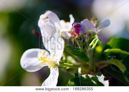 White fresh young flowers on the branches of a spring cherry tree in a beautiful sunny day