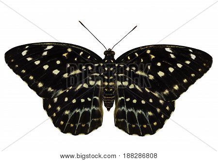 Isolated dorsal view of female Common Archduke butterfly ( Lexias pardalis jadeitina ) on white with clipping path
