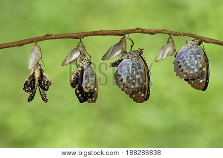 The Common Archduke butterfly emerging from chrysalis ( Lexias pardalis jadeitina ) hanging on twig