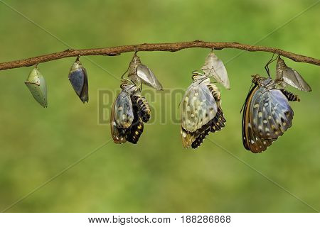 Transformatin of Common Archduke butterfly emerged from chrysalis ( Lexias pardalis jadeitina ) hanging on twig