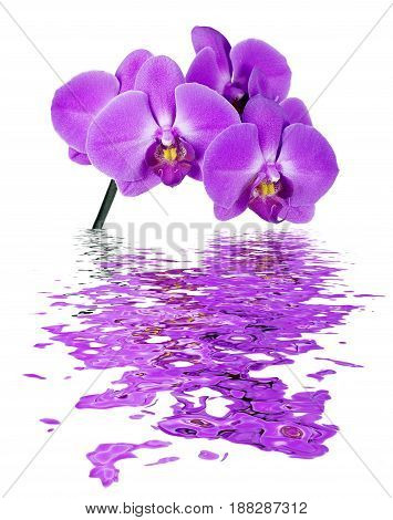Pink Orchid isolated on a white background reflected in the water surface with small waves