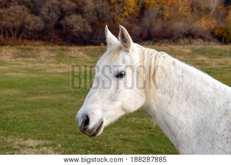 White horse standing in a pasture looking at the viewer.