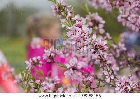 branch with spring pink flowers green leaves garden