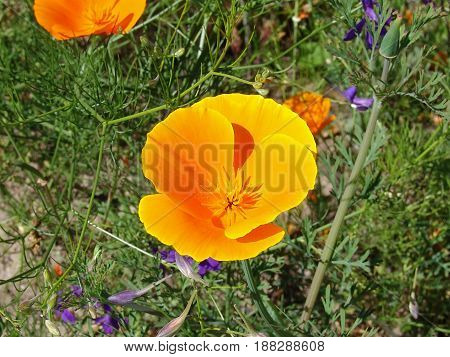 California poppy Eschscholzia californica orange flower on green background
