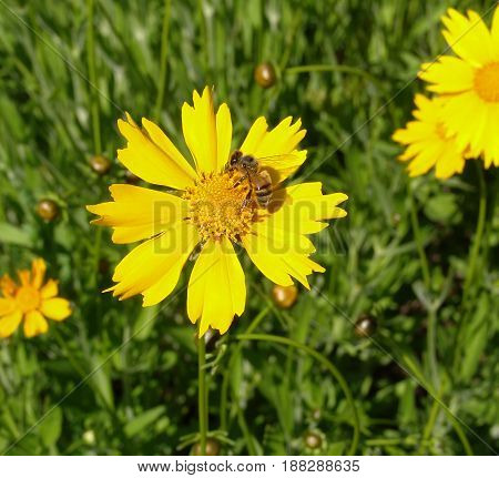 Yellow flower and bee. Pollinated of yellow flower