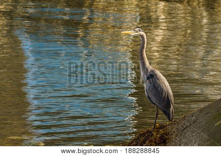 Blue Heron Standing Near The Water - Vancouver Canada