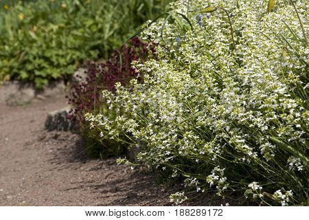 flowerbed with white and Burgundy flowers green leaves