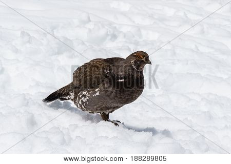 Female Spruce Grouse In Winter On The Snow