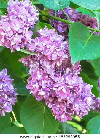 Bushes of blossoming lilacs in late spring.