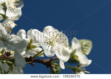 Plum flower tree in the garden, spring bloom.