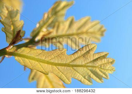 green oak leaves in the bluo sky