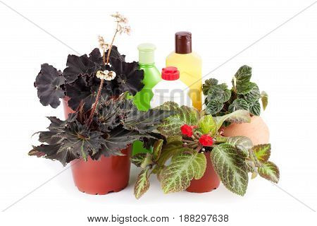 Beautiful begonias peperomia pilea hang-downing episcia and chemical fertilizers pesticides and insecticides isolated on white background .Hybrid begonia Dark Mambo.