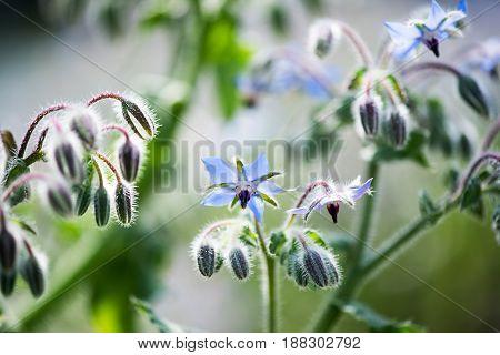 Tiny Blue Flowers And Buds On A Borage Plant